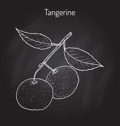 Tangerine fruit citrus tangerina mandarin vector