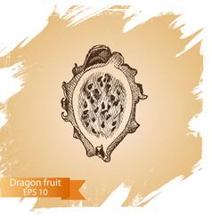 sketch - dragon fruit vector image vector image
