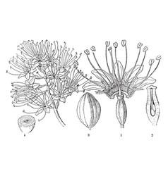 bushwillow vintage vector image