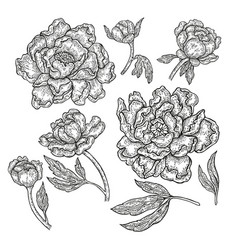 hand drawn peony flowers and leaves isolated on vector image vector image