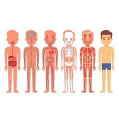 Human body anatomy Male vector image vector image