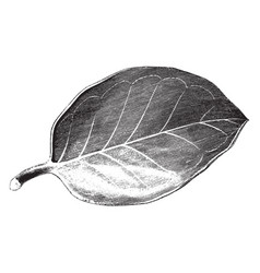 leaf of ilex aquifolium hendersoni vintage vector image