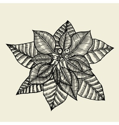 - Poinsettia vector image