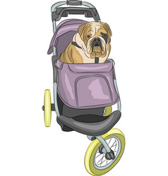 english bulldog in the stroller vector image