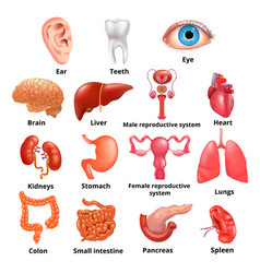 internal organs icon set vector image