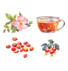 rosehips watercolor tea with rose hips flower vector image