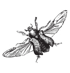 Rose chafer with hind wings extended vintage vector