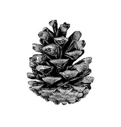 hand drawn sketch of pinecone in black isolated vector image