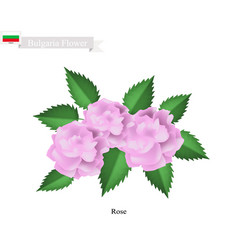 pink rose flowers the national flower of bulgaria vector image