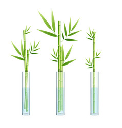 realistic detailed 3d lucky bamboo plant or vector image