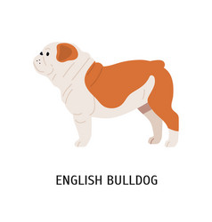 British or english bulldog cute lovely dog of vector