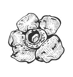 Rafflesia giant flower sketch engraving vector