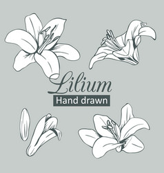 set collection white lilium isolated on grey vector image