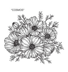 Cosmos flower drawing vector