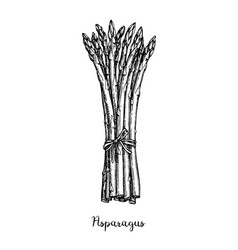 Ink sketch of asparagus vector