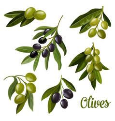 olives on branches green and black olives leaf vector image