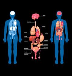 human anatomy internal organs layout vector image vector image