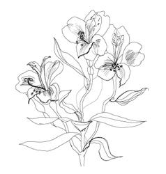 alstrameriya flower sketch vector image