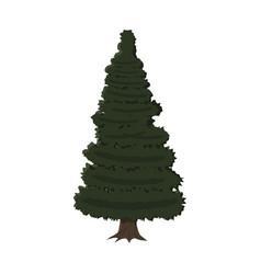 spruce evergreen tree vector image