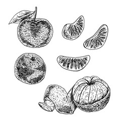 Hand drawn set of mandarin sketch vector