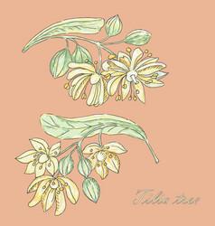 Tilia flowers vector