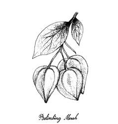 Hand drawn belimbing merah fruits on white back vector