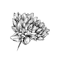 chrysanthemum hand drawn ink pen vector image