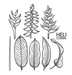 Graphic heliconia collection vector