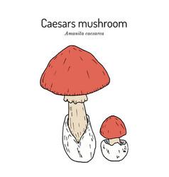 Caesars mushroom amanita caesarea edible vector