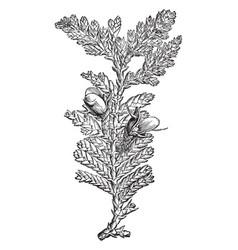 fruiting branchlet of libocedrus doniana vintage vector image