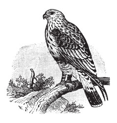 Rough legged buzzard vintage vector