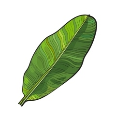 Full fresh leaf of banana palm tree sketch vector image