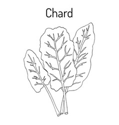 mangold beta vulgaris or swiss chard vector image