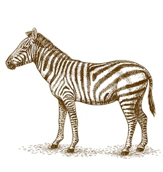 Engraving zebra vector