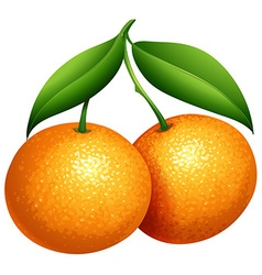Oranges with green leaves vector
