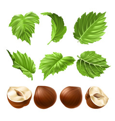 realistic of a peeled hazelnut vector image