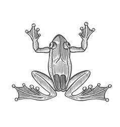 Frog in engraving vector