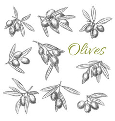 Olives branches sketch icons set vector