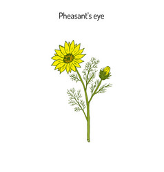 adonis vernalis spring pheasant s eye or false vector image