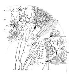 Sagittal section through cerebellar folium vintage vector