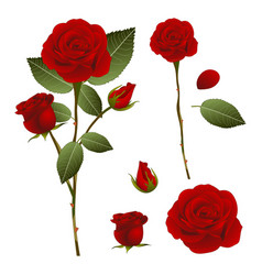 beautiful red rose - rosa valentine day vector image vector image