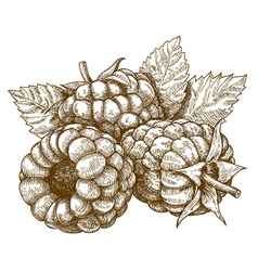 Engraving raspberry vector