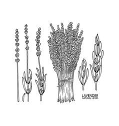 Graphic lavender collection vector