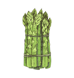 Hand drawn bunch asparagus isolated on white vector