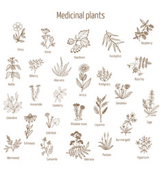 Hand drawn medical herbs and plants vector