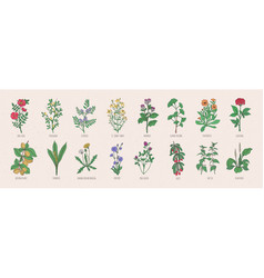 Collection wild meadow herbs blooming flowers vector