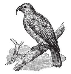 Philip island parrot vintage vector