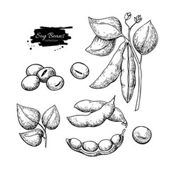 Soybean hand drawn isolated vector