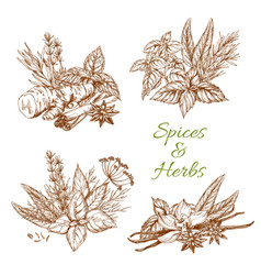 spices or herbs sketch seasonings vector image
