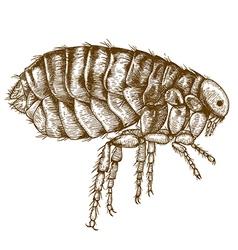 engraving flea vector image vector image